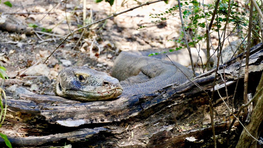 The Komodo dragon is blending with the environment in Rinca Island