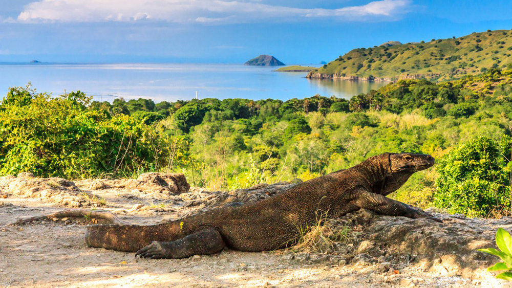 Komodo dragon lurking on their habitat in the Komodo Island