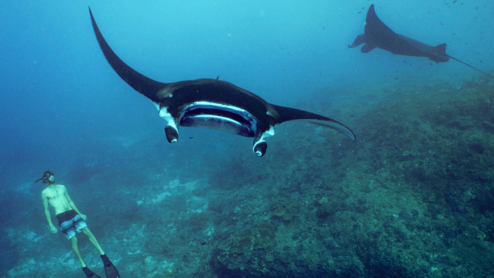 Witness the huge manta rays while diving in Manta Point