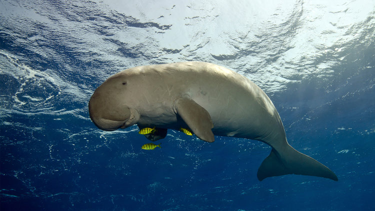 Tatawa kecil: Dugongs for the lucky ones