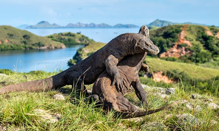 Another picture of two Komodo Dragon engaging in a fight