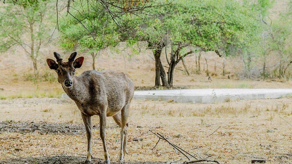 A deer is one of the herbivore animal inhabiting Rinca Island