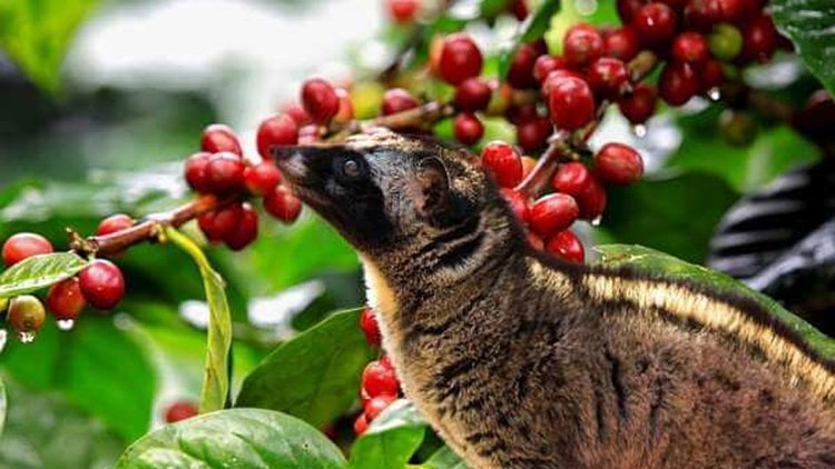 The famous luwak eating berries from the tree