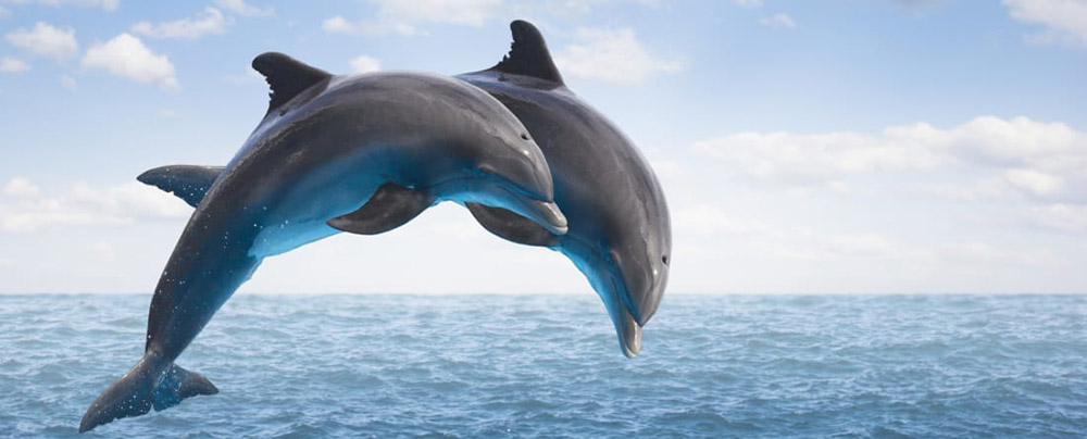 Two dolphins swimming happily