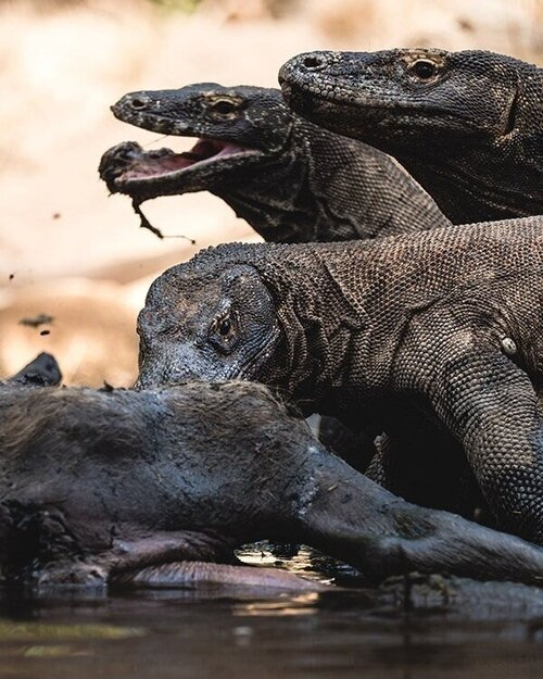 A group of Komodo in the water