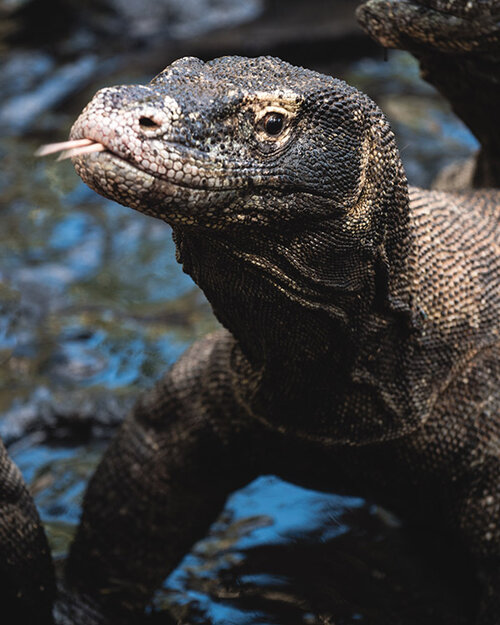 A close look on a Komodo