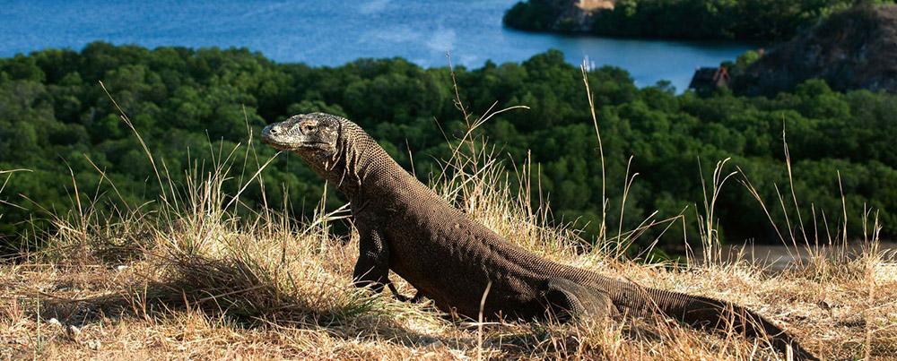 Komodo dragon on the island