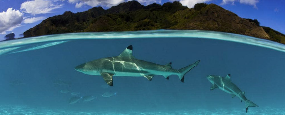 The reef sharks near the coral reefs