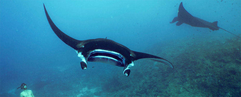 Manta rays in the deep of the sea