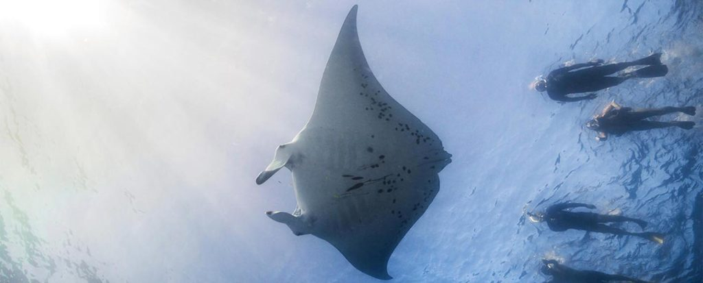 A couple of divers meeting a giant manta
