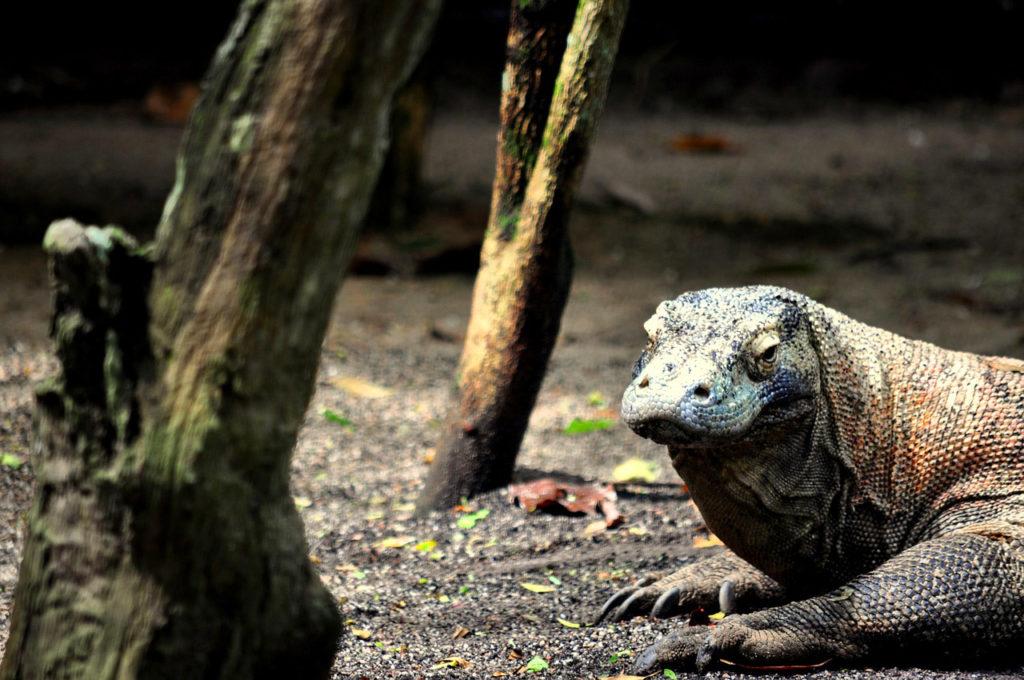 A Komodo Dragon on its habitat
