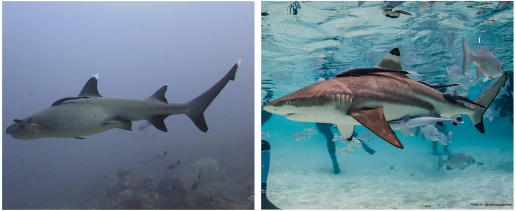 Diving sharks in Komodo Indonesia