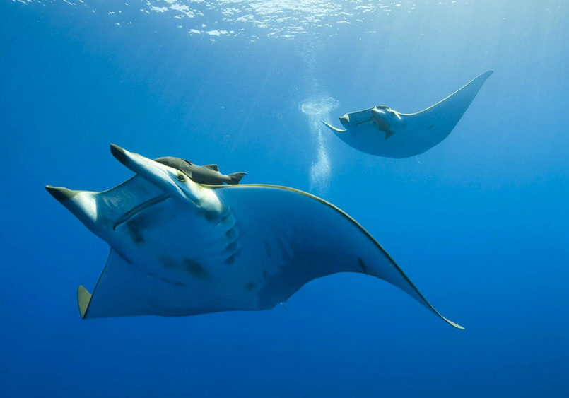 Meeting a giant Manta in the depth of Manta Point